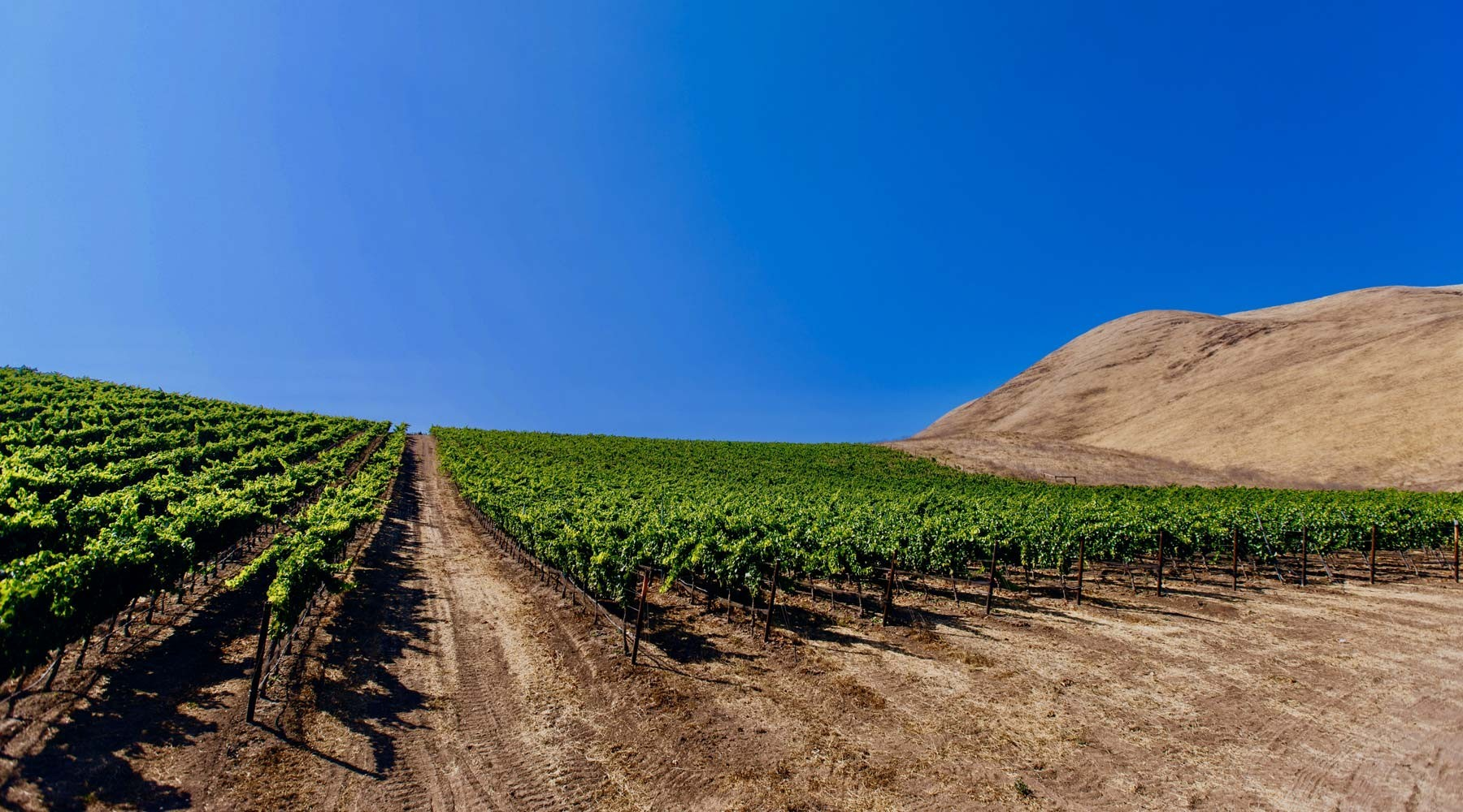 Vineyard horizon photo